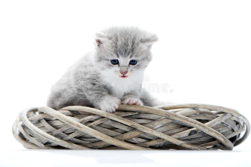 看小的蓬松灰色滑稽的小猫是好奇的和下来,当坐在白色柳条花圈与其他一起时 库存图片
