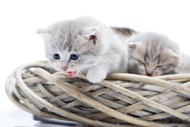 看小的蓬松灰色滑稽的小猫猫叫和下来,当坐在白色柳条花圈与其他一起时 免版税库存图片