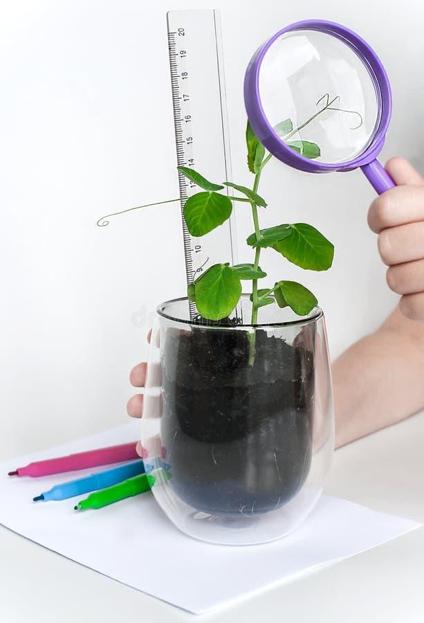 看小绿色新芽的孩子通过放大器,测量的植物 学龄前环境教育 r 库存照片