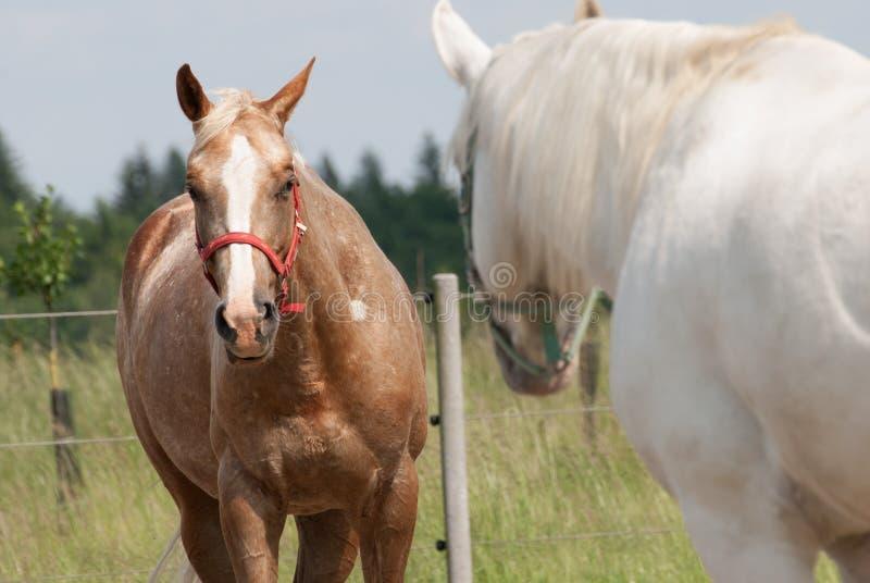 看彼此的两匹马 免版税库存照片