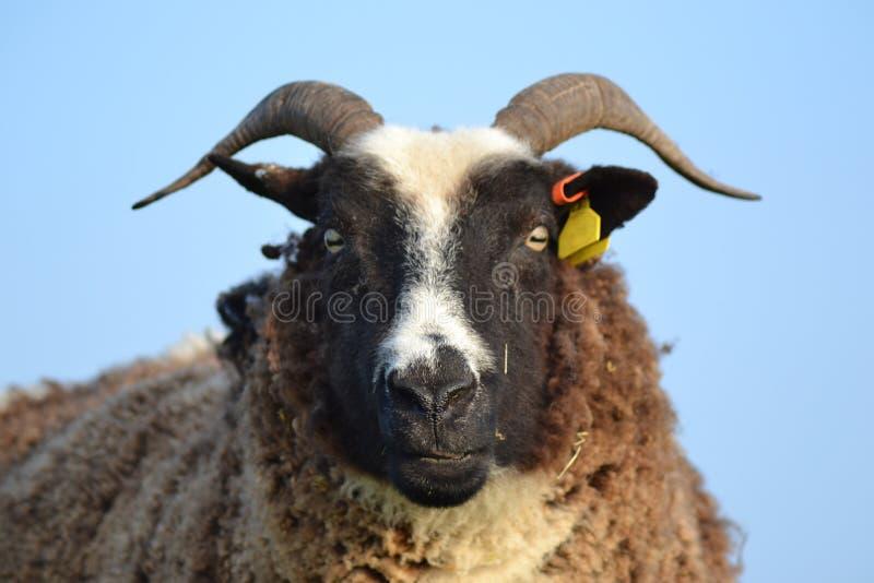 看往照相机的一只有角的绵羊的特写 图库摄影