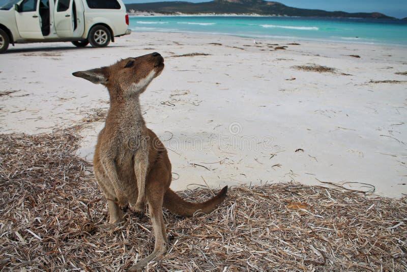 看往照相机的逗人喜爱的袋鼠幸运的海湾,澳大利亚西部 库存图片