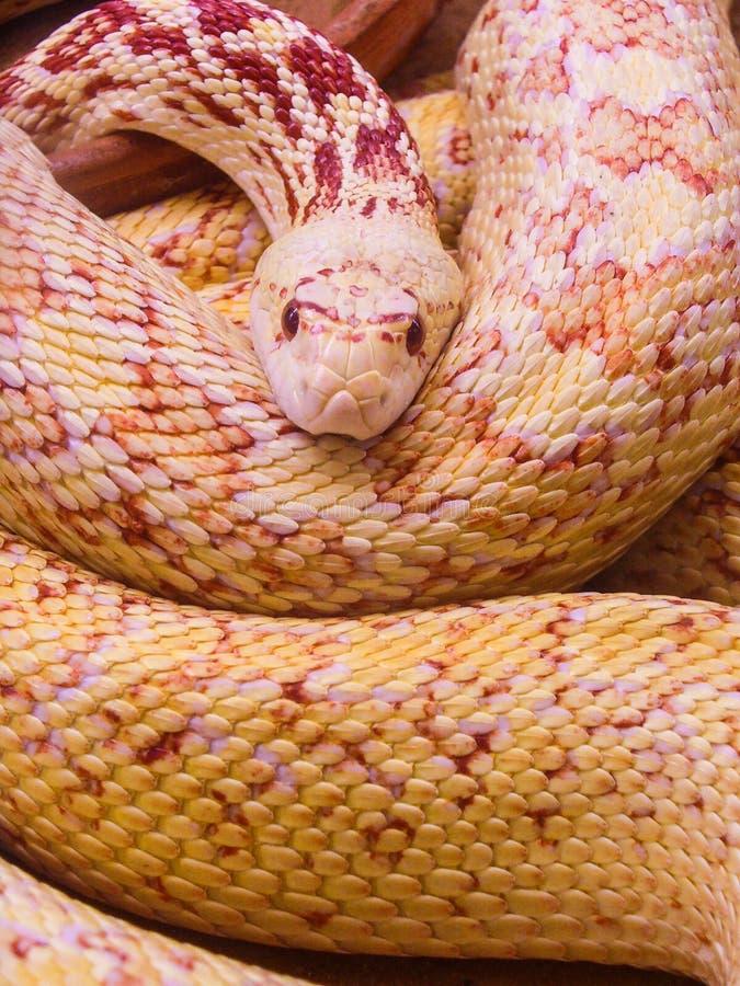 看您的蛇 免版税库存照片