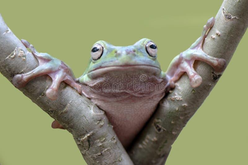 看我的矮胖的青蛙 免版税库存图片