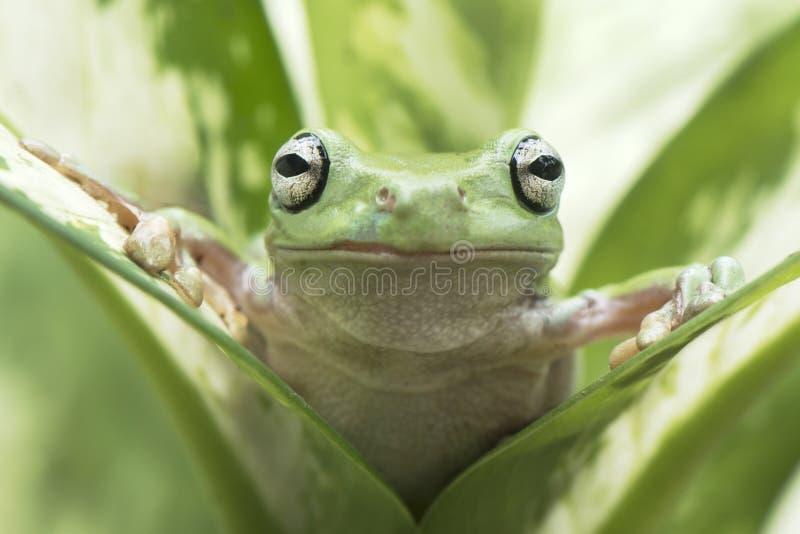 看我的矮胖的青蛙 库存照片