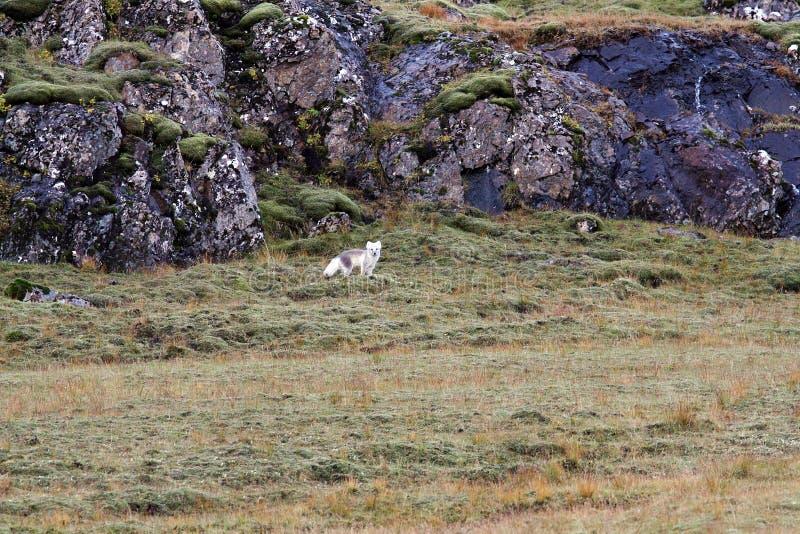 看摄影师的北冰的狐狸 库存照片