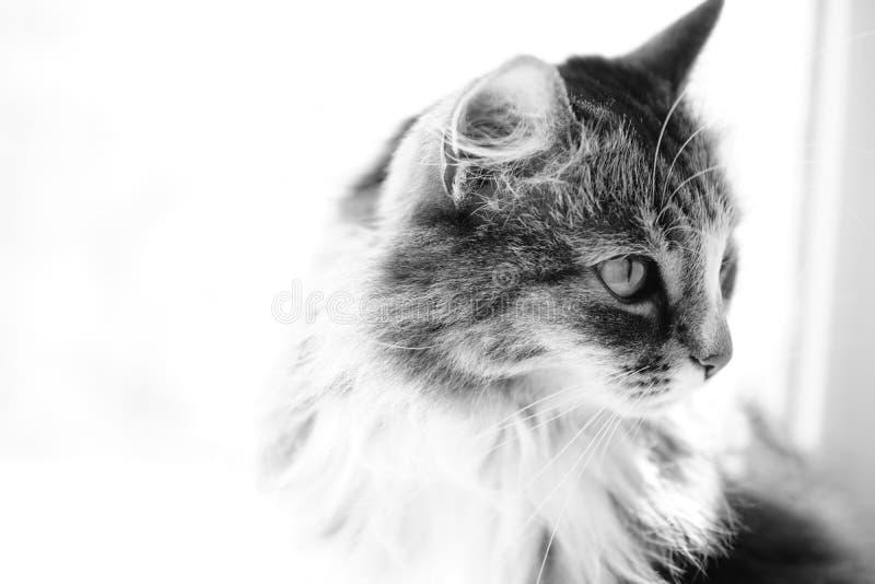 看斜向一边在黑白的美丽的猫 免版税库存照片