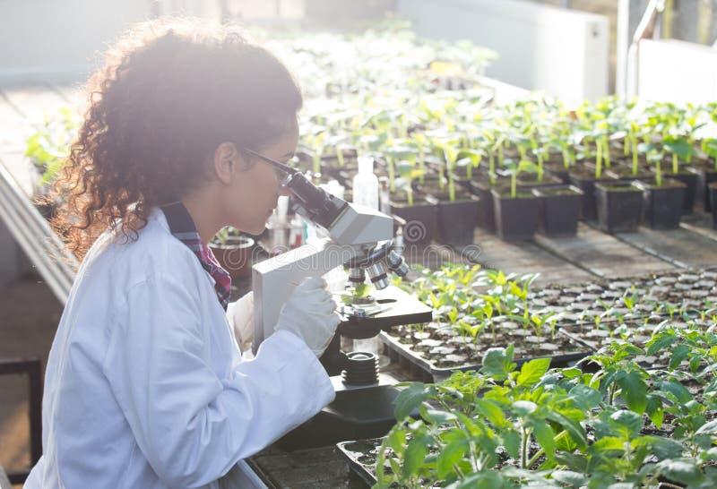 看显微镜的科学家自温室 库存图片