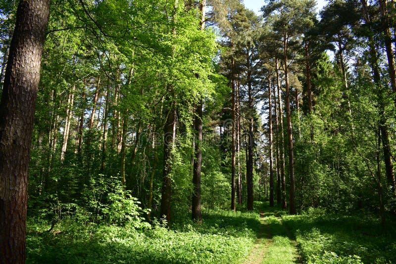 看杉木好的,并且修剪苗条,金黄树干,吸入干净的芬芳空气,嗅到树脂 库存图片