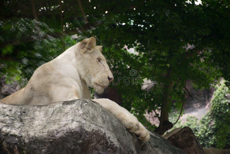 看某一事的狮子国王 免版税库存图片