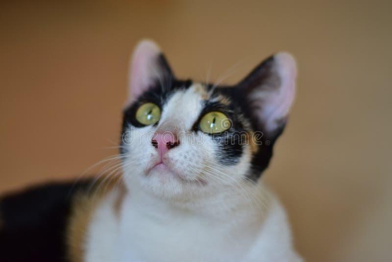 看某事的猫 免版税库存照片