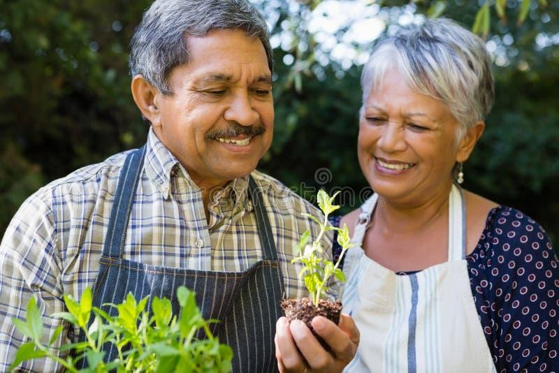 看树苗植物的资深夫妇在庭院里 免版税图库摄影