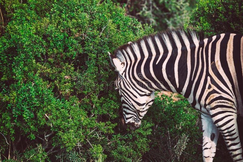 看法的斑马关闭在Addo国立公园灌木  免版税图库摄影