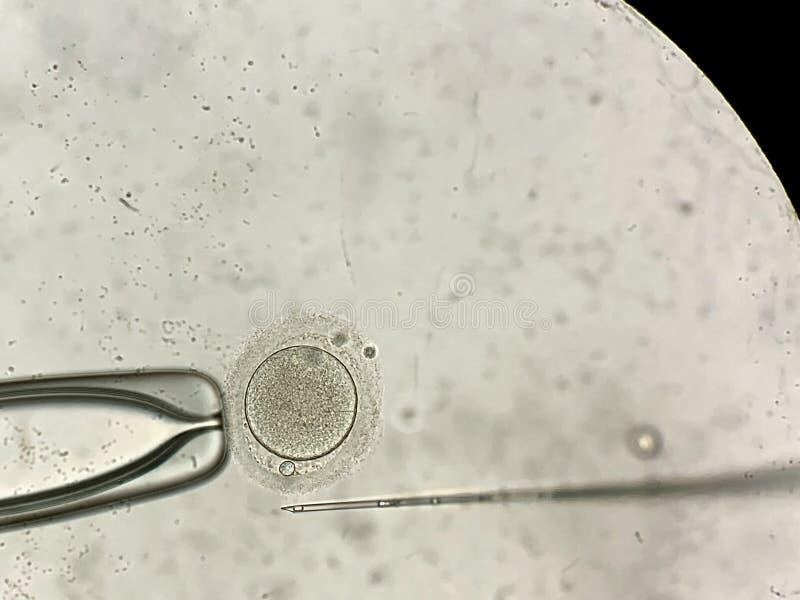 看法通过在体外受精过程的显微镜 免版税库存照片