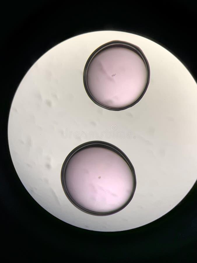 看法通过在体外受精过程的显微镜 图库摄影