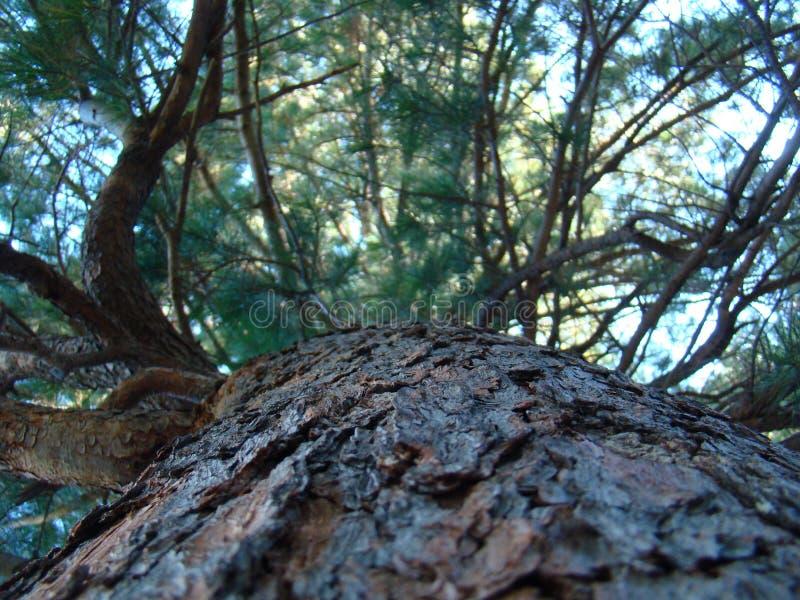 看涨 一个巨大的杉木巨人 库存图片
