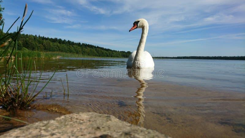 看湖天鹅近的岸  免版税图库摄影