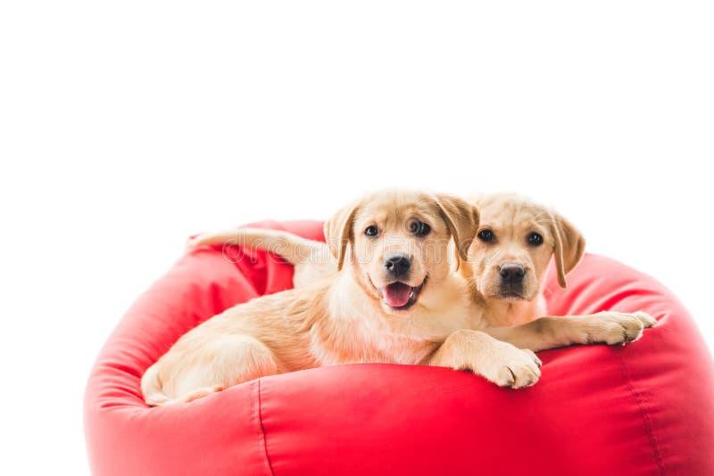 看照相机和说谎在袋子椅子的两只米黄小狗 免版税图库摄影