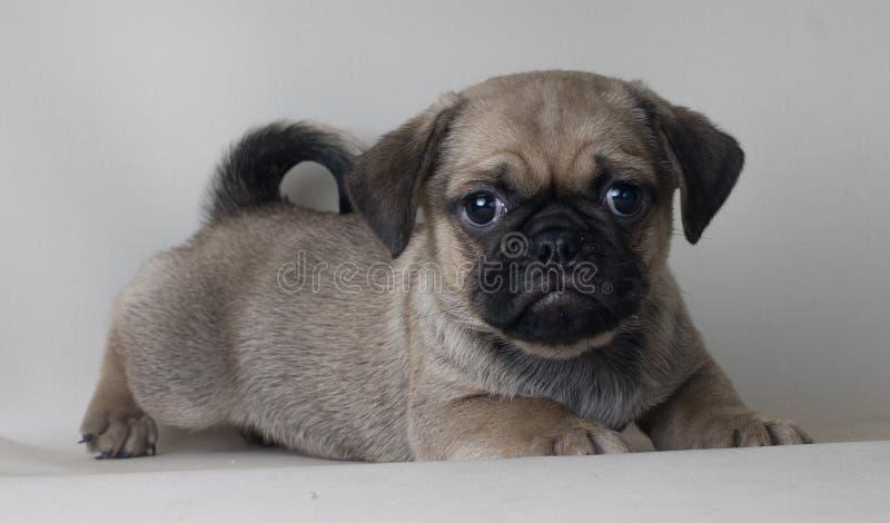 看照相机哭泣的一条哀伤的小狗哈巴狗狗的灰色画象 免版税库存图片