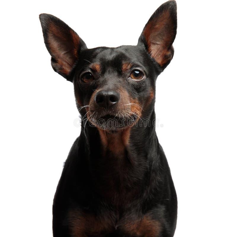 看照相机的一只可爱的小的小狗的画象 免版税库存图片