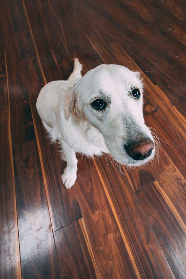 看照相机的一只纯血统白色金毛猎犬的白点透视 图库摄影
