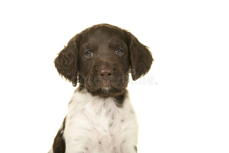 看照相机的一条小munsterlander小狗的画象 免版税库存图片