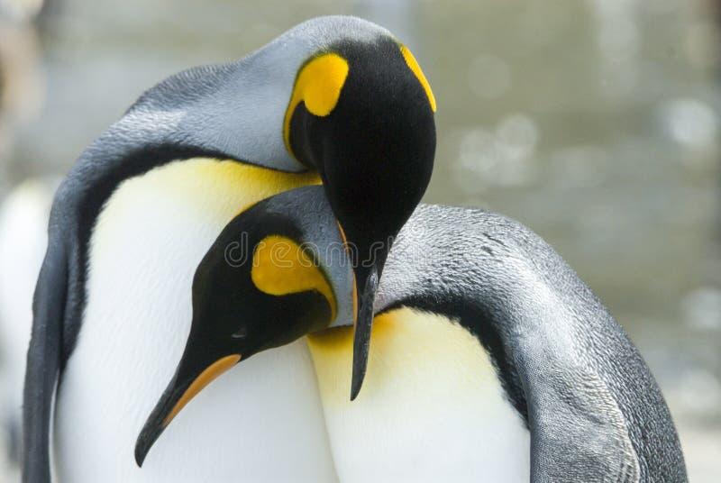 看照相机的企鹅国王特写镜头 库存照片