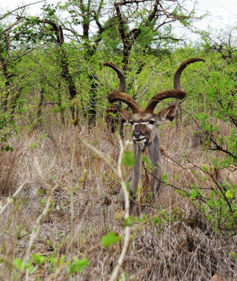 看照相机的伟大的Kudu 免版税库存照片