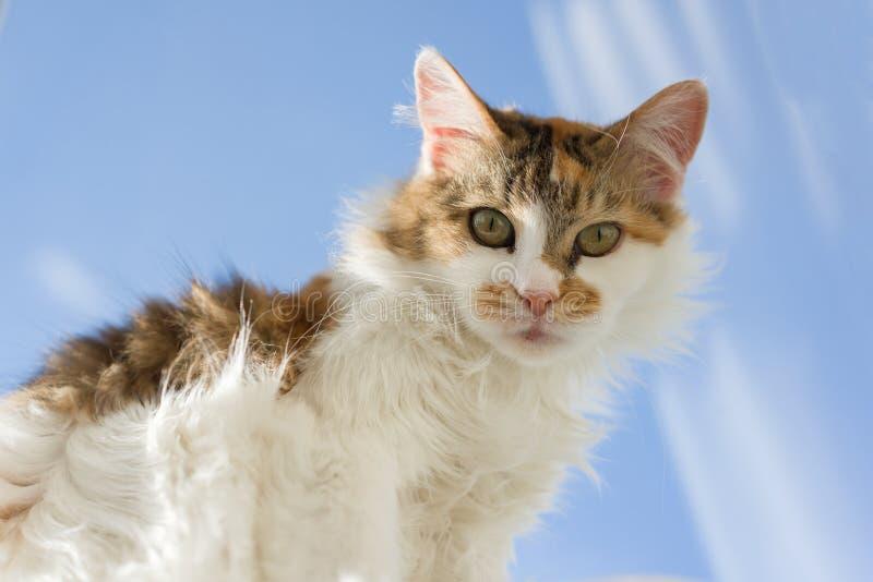 看照相机的十岁的家养的三色母猫画象说谎在窗台,蓝色晴朗的天空背景 免版税库存图片