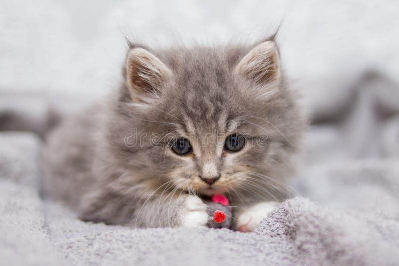 看照相机的小的灰色蓬松小猫缅因浣熊 孩子动物和猫概念 免版税库存图片