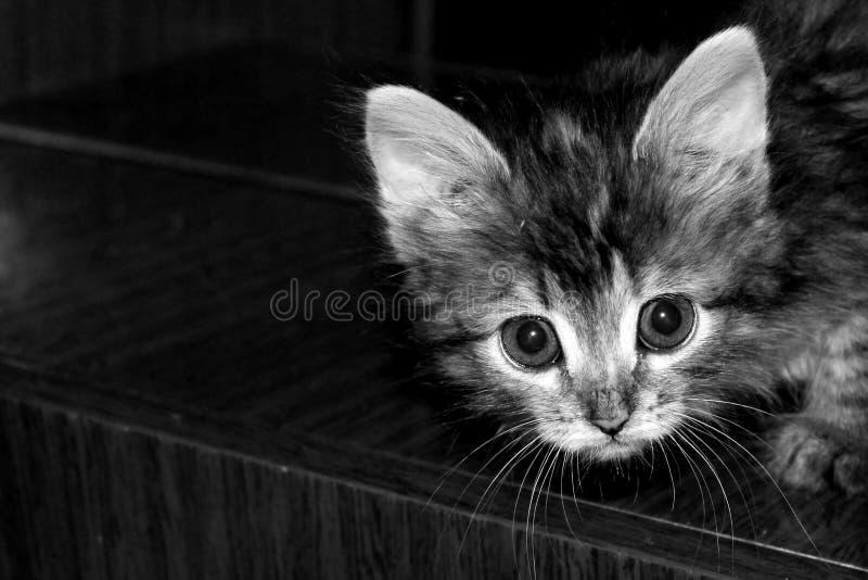 看照相机的小逗人喜爱的西伯利亚小猫 库存照片