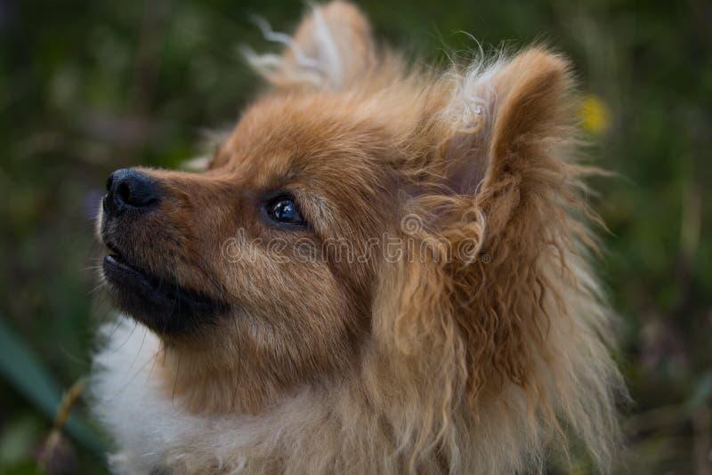 看照相机的布朗和白色狗 免版税库存照片