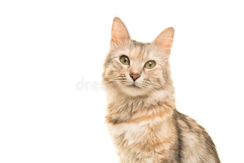 看照相机的平纹土耳其安哥拉猫猫画象 库存照片