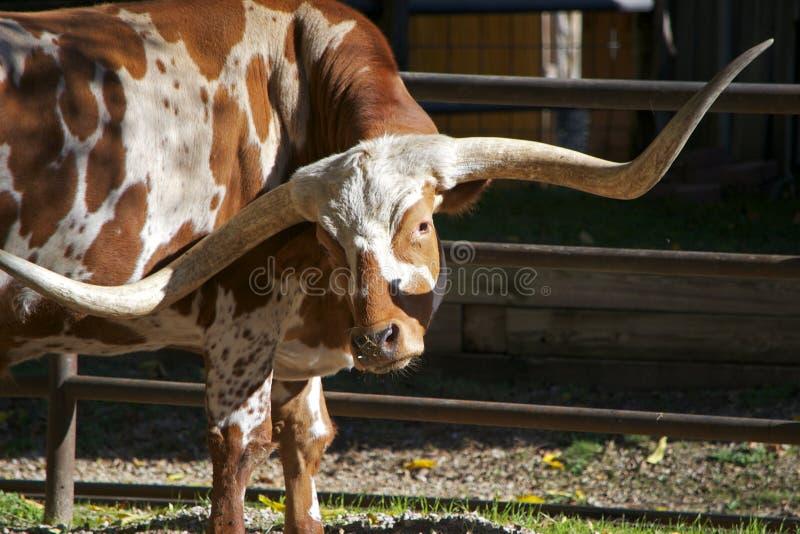 看照相机的得克萨斯长角牛 免版税库存照片
