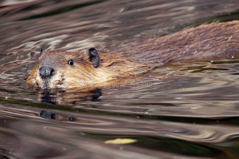 看照相机的海狸 免版税库存照片