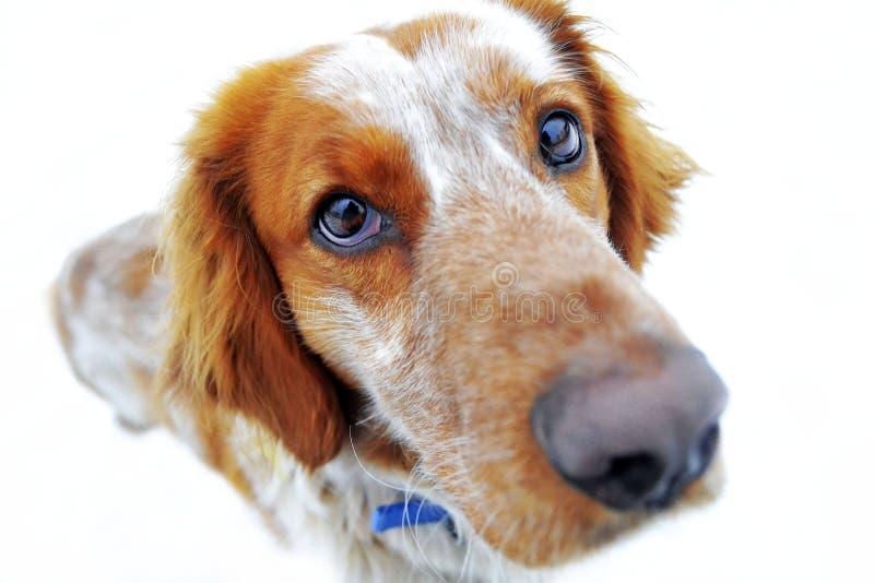 看照相机的红色狗 图库摄影