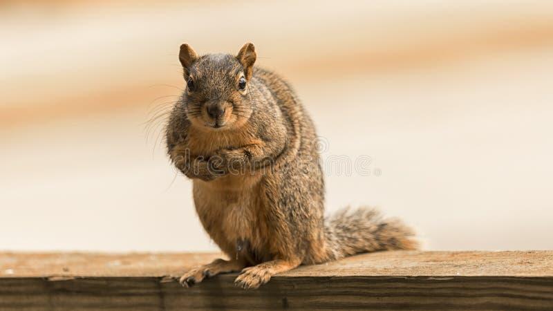 看照相机的美国红松鼠 免版税库存照片
