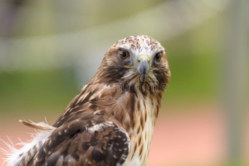 看照相机的腿上有毛的鹰 图库摄影