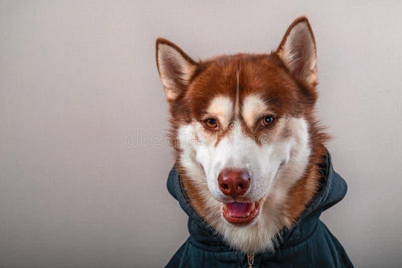 看照相机的西伯利亚爱斯基摩人狗,隔绝在灰色 在黑运动衫的画象红色雪撬狗 库存照片
