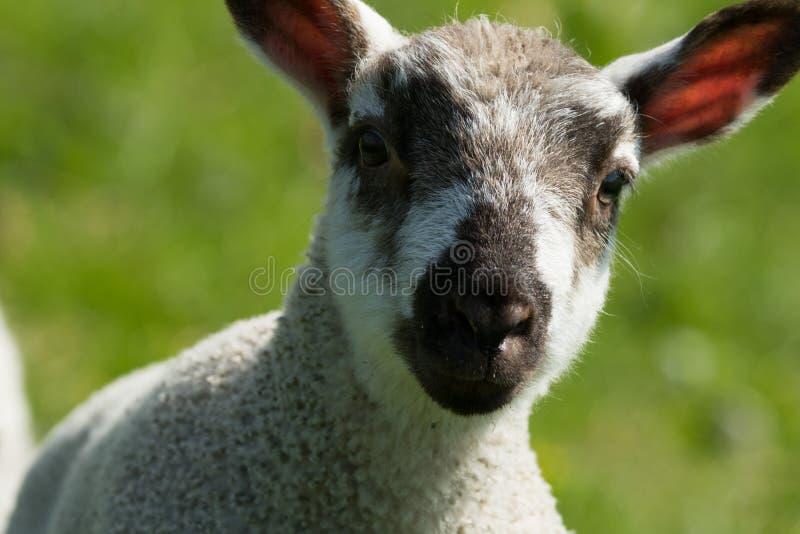 看照相机的逗人喜爱的羊羔 库存图片