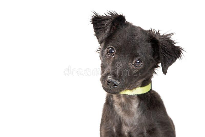 看照相机的逗人喜爱的黑小狗特写镜头 免版税库存图片