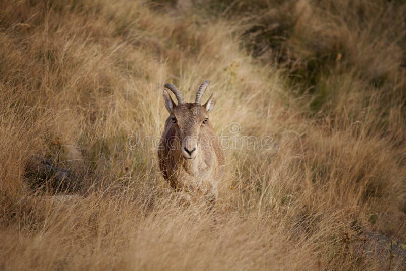 看照相机的野山羊 库存照片