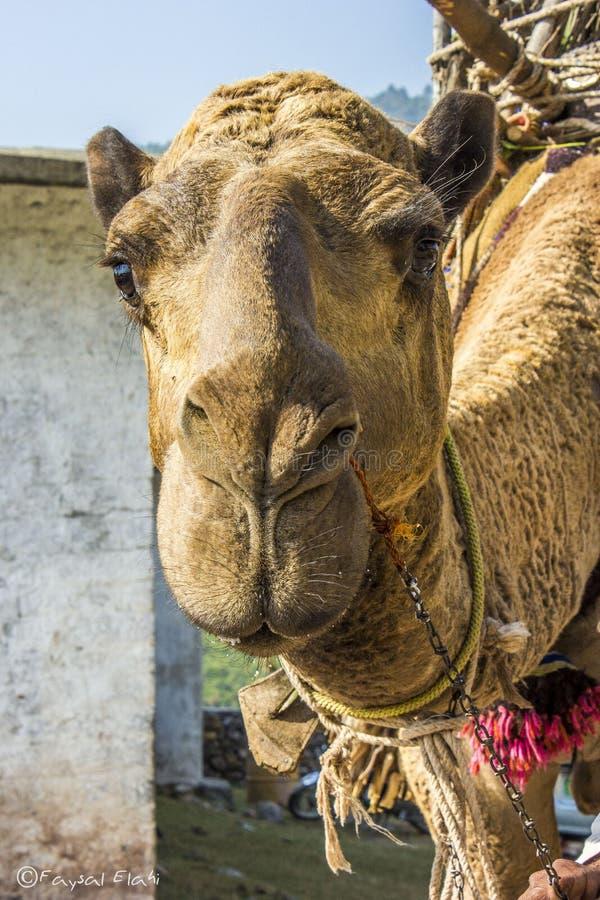 看照相机的骆驼 库存图片