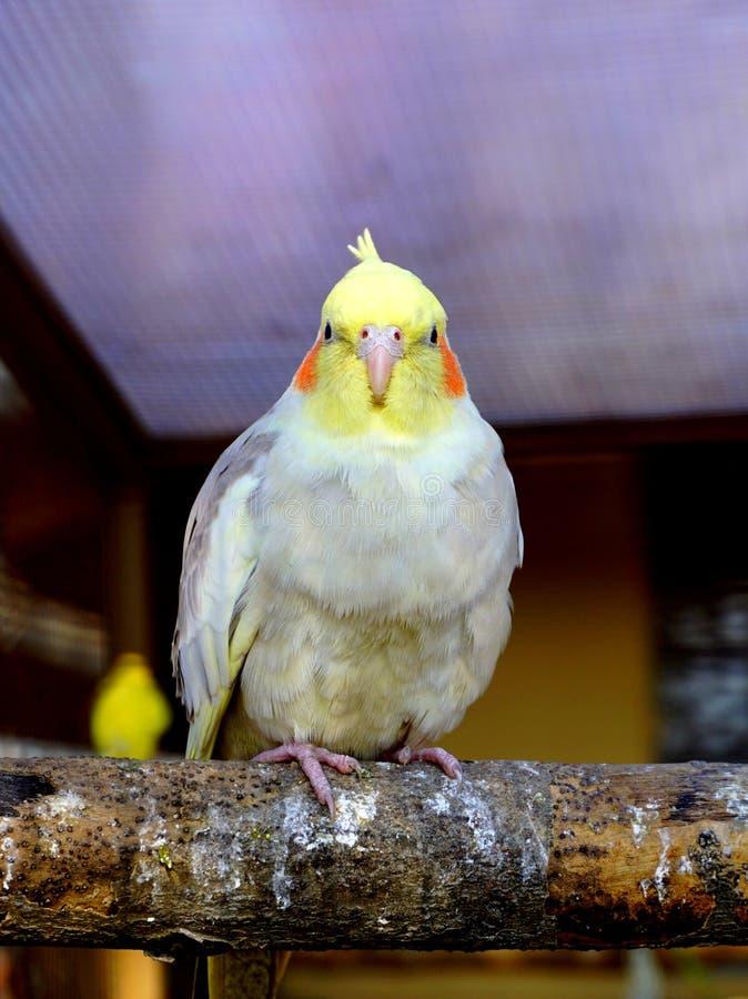 看照相机的鹦鹉 免版税库存图片