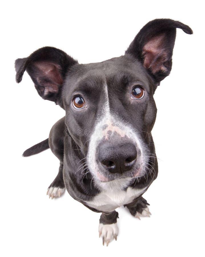 看照相机的黑逗人喜爱的狗 库存照片