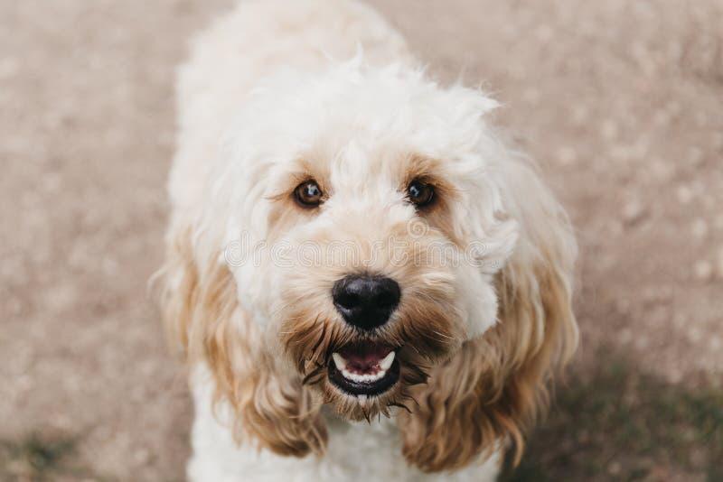 看照相机的Cockapoo小狗 库存照片
