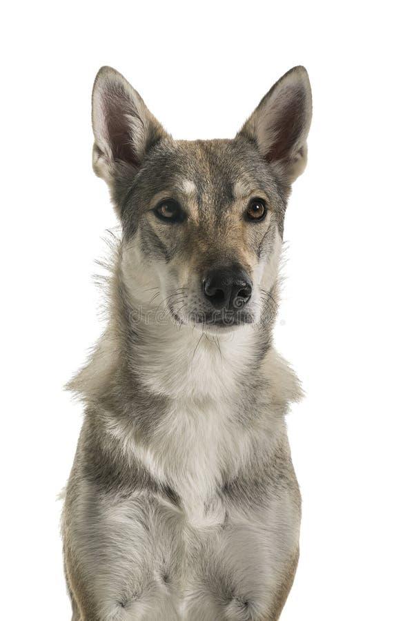 看照相机o的一条母tamaskan杂种狗的画象 库存照片