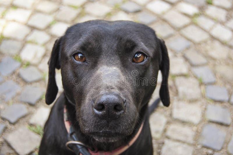 看画象的黑拉布拉多猎犬狗 免版税库存照片