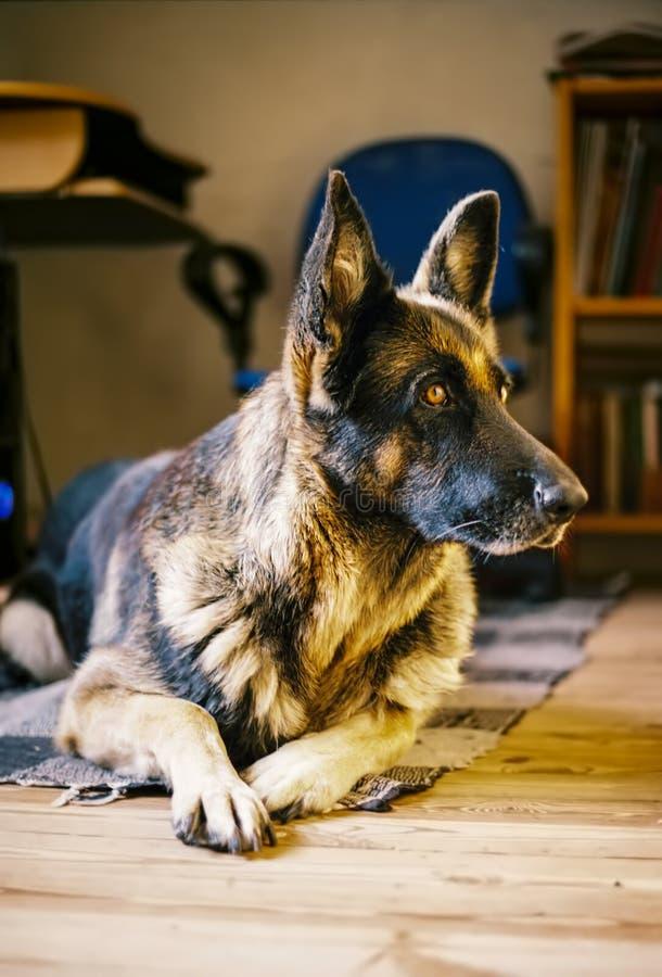 看的德国牧羊犬好奇地 库存图片