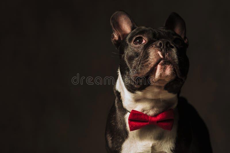 看的法国牛头犬的特写镜头图片  免版税图库摄影